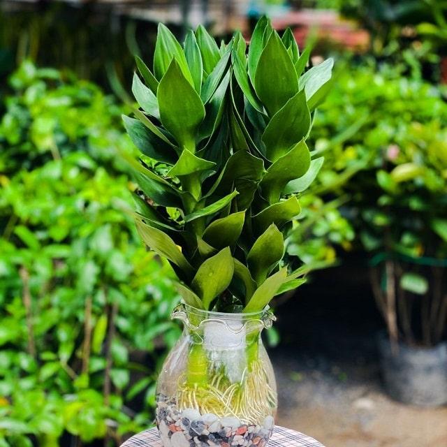 cách chăm sóc cây phát tài búp sen