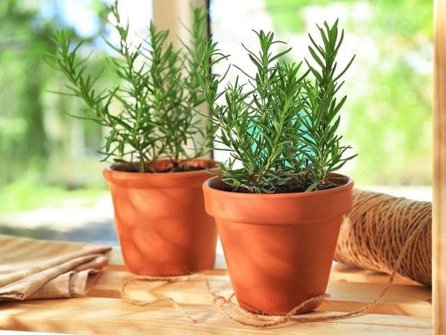 cây hương thảo hợp mệnh gì (2)