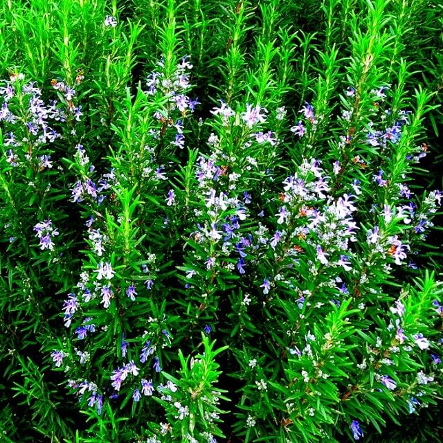 cây hương thảo hợp mệnh gì (3)