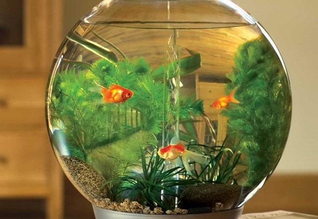 mệnh thủy nuôi cá gì (3)